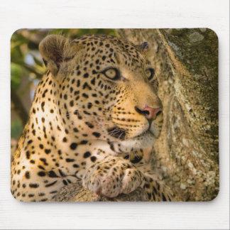 Adult Leopard (Panthera Pardus) Rests Mouse Mat