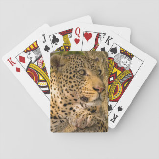 Adult Leopard (Panthera Pardus) Rests Playing Cards