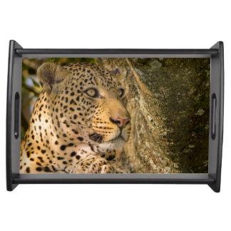 Adult Leopard (Panthera Pardus) Rests Serving Tray