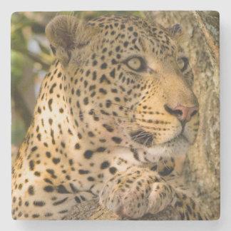 Adult Leopard (Panthera Pardus) Rests Stone Coaster
