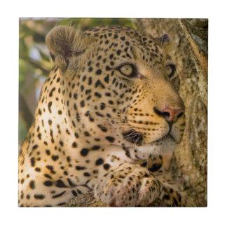 Adult Leopard (Panthera Pardus) Rests Tile