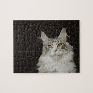 Adult Maine Coon Cat Jigsaw Puzzle