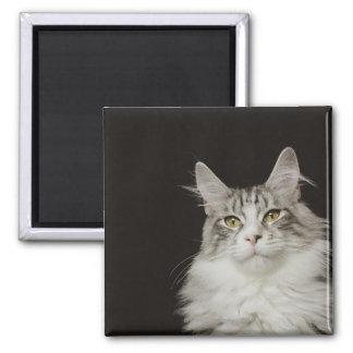 Adult Maine Coon Cat Magnet