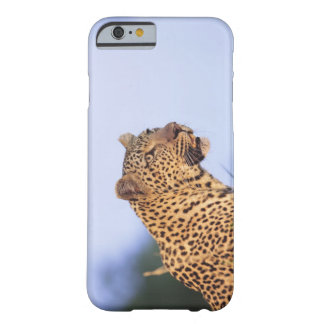 Adult male leopard (Panthera pardus), resting on Barely There iPhone 6 Case