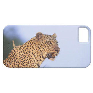 Adult male leopard (Panthera pardus), resting on iPhone 5 Cases
