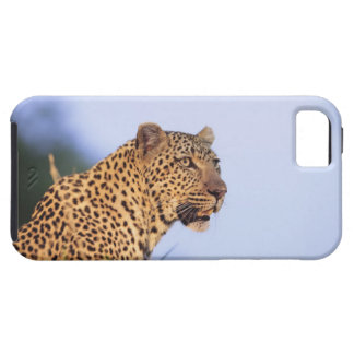 Adult male leopard (Panthera pardus), resting on iPhone 5 Cover