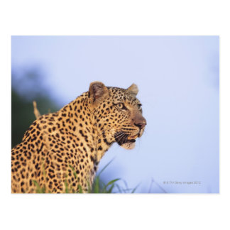 Adult male leopard (Panthera pardus), resting on Postcard