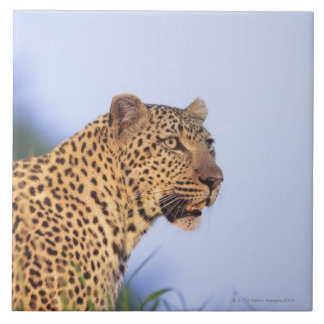Adult male leopard (Panthera pardus), resting on Tile