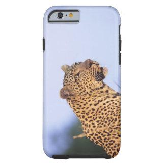 Adult male leopard (Panthera pardus), resting on Tough iPhone 6 Case