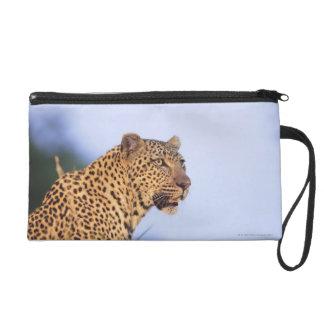 Adult male leopard (Panthera pardus) Wristlet