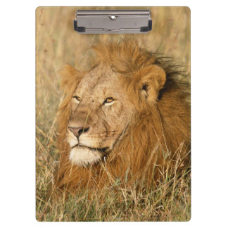 Adult male Lion at first light Clipboard