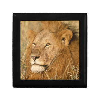 Adult male Lion at first light Gift Box