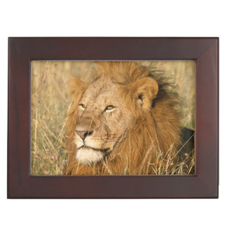 Adult male Lion at first light Keepsake Box