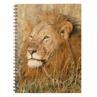 Adult male Lion at first light Notebooks