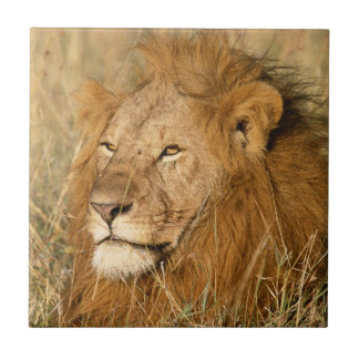 Adult male Lion at first light Tile