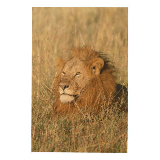Adult male Lion at first light Wood Print
