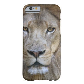 Adult male lion at the Sacramento Zoo, CA Barely There iPhone 6 Case
