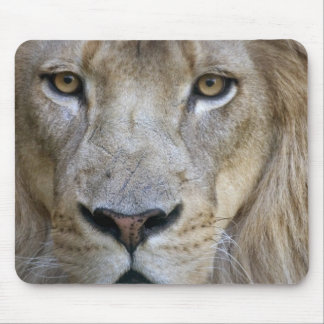 Adult male lion at the Sacramento Zoo, CA Mouse Mat