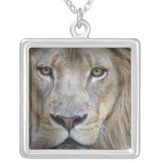 Adult male lion at the Sacramento Zoo, CA Silver Plated Necklace