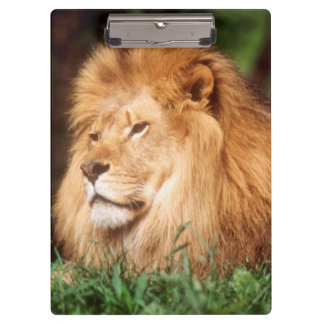 Adult male Lion Clipboard