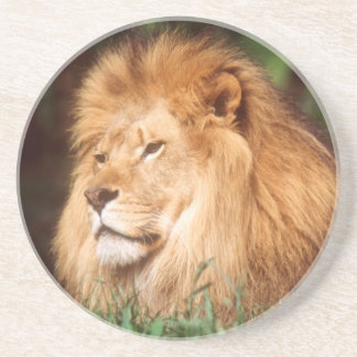 Adult male Lion Drink Coaster