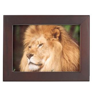 Adult male Lion Keepsake Box