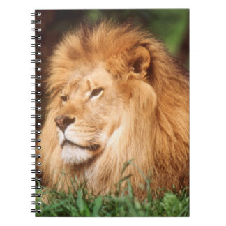 Adult male Lion Notebook