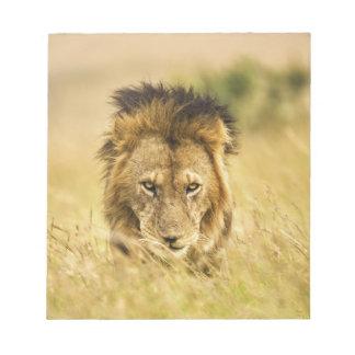 Adult male lion, Panthera leo, Masai Mara, Kenya Notepad