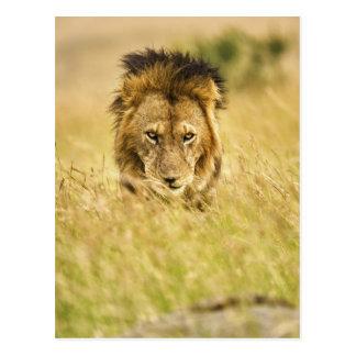 Adult male lion, Panthera leo, Masai Mara, Kenya Postcard