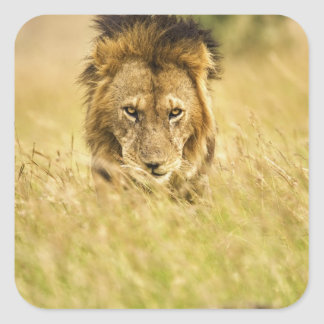 Adult male lion, Panthera leo, Masai Mara, Kenya Square Sticker