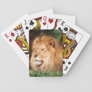 Adult male Lion Playing Cards