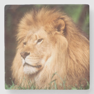 Adult male Lion Stone Coaster