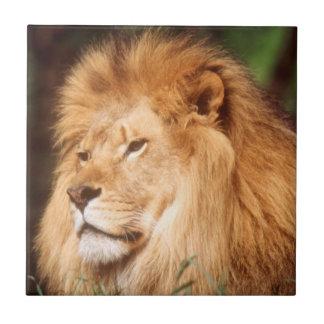 Adult male Lion Tile