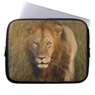 Adult male lion walking through tire tracks, laptop sleeve