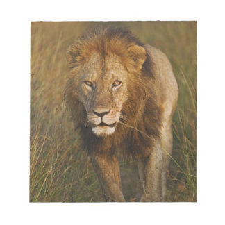 Adult male lion walking through tire tracks, notepad