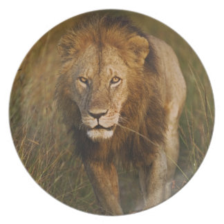 Adult male lion walking through tire tracks, plate