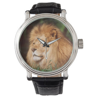 Adult male Lion Watch