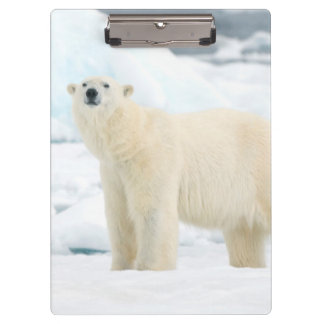 Adult polar bear in search of food clipboard