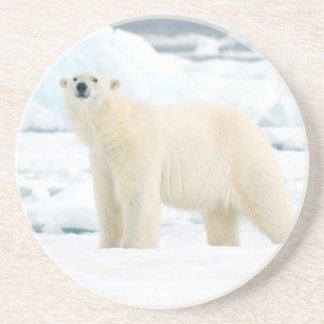 Adult polar bear in search of food coaster