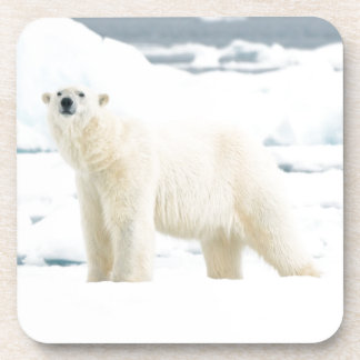 Adult polar bear in search of food drink coaster