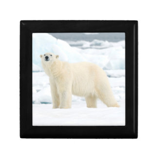 Adult polar bear in search of food gift box