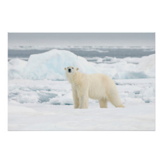 Adult polar bear in search of food poster