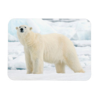 Adult polar bear in search of food rectangular photo magnet