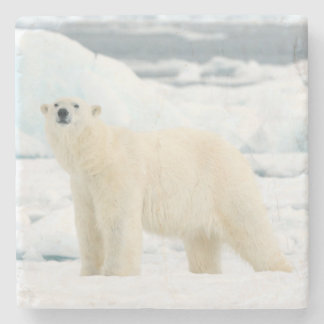Adult polar bear in search of food stone coaster