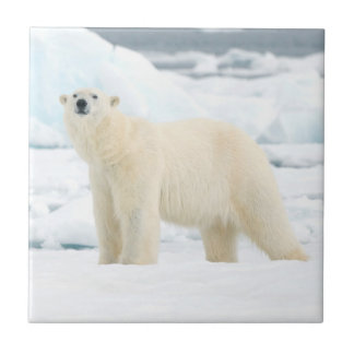 Adult polar bear in search of food tile