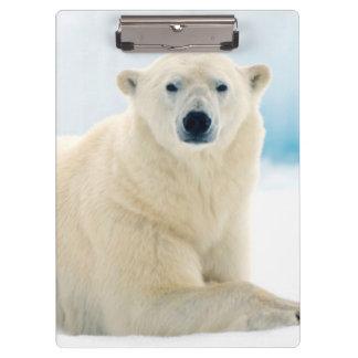 Adult polar bear large boar on the summer ice clipboard