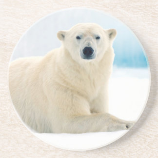 Adult polar bear large boar on the summer ice coaster