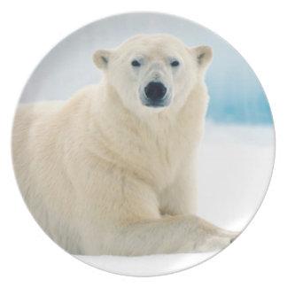 Adult polar bear large boar on the summer ice plate