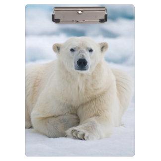 Adult polar bear on the summer pack ice clipboard