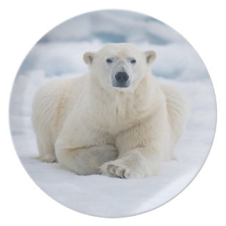 Adult polar bear on the summer pack ice plate